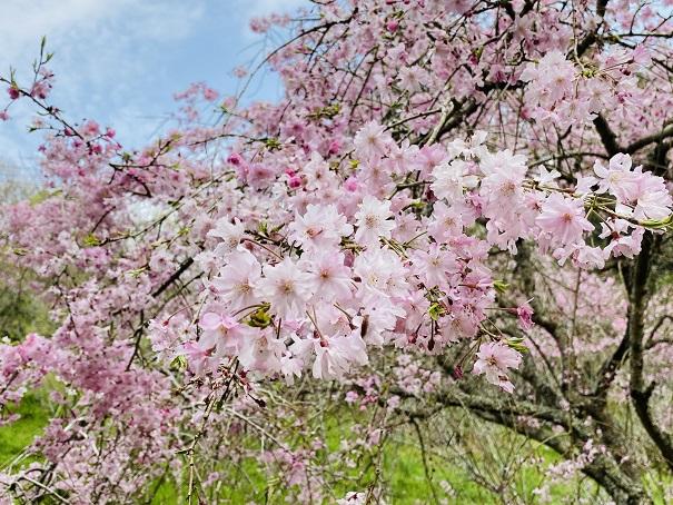 しだれ桜園