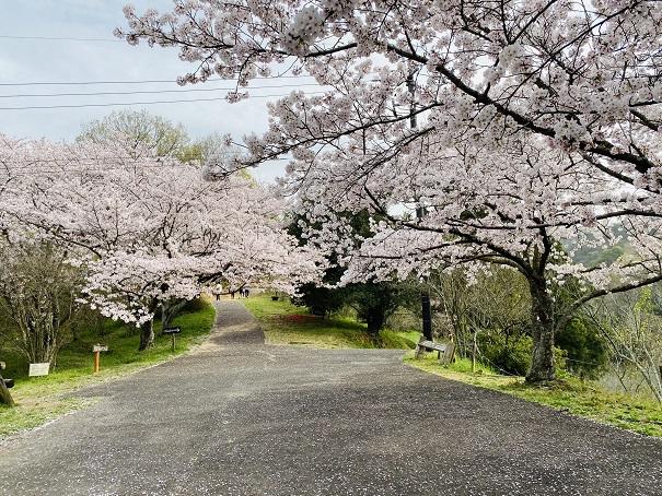 みろく自然公園桜