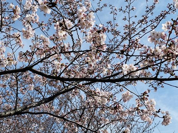 城山公園 桜1