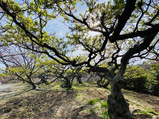 城山桜公園 早咲の桜