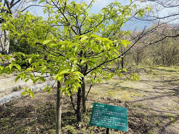 城山桜公園 館山寺桜