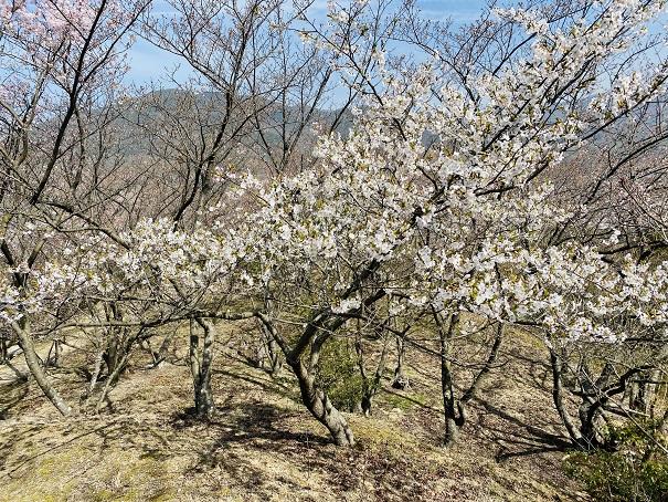 城山桜公園 咲いている桜