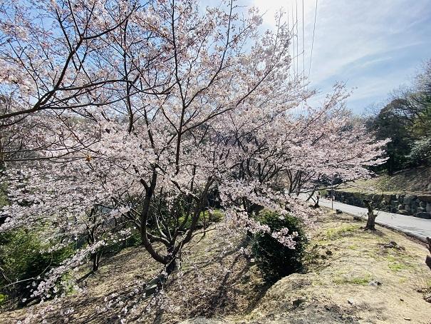 城山桜公園 登り口の桜2