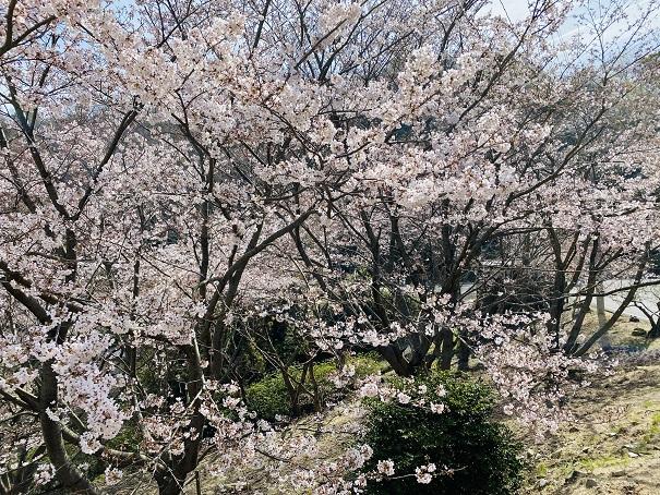 城山桜公園 登り口の桜3
