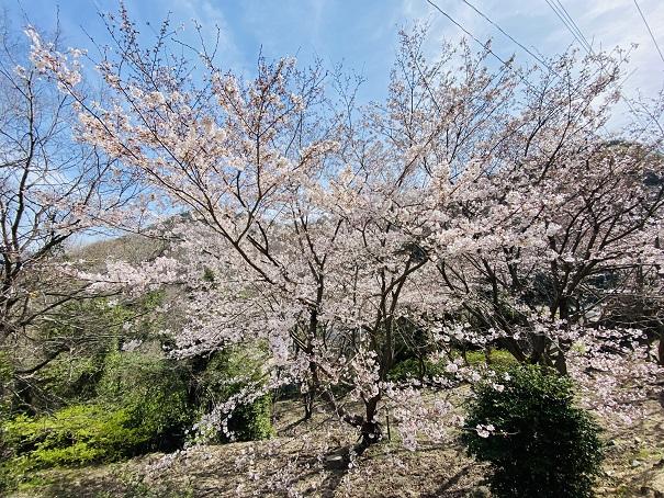 城山桜公園 登り口の桜4