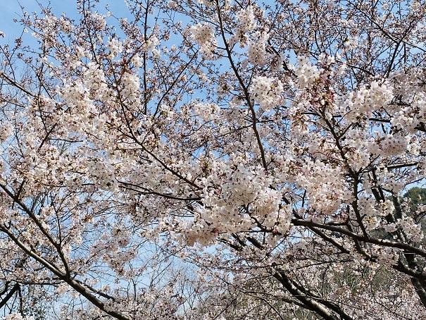 城山桜公園 登り口の桜5