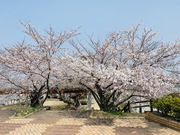 桃陵公園 ふれあい広場 桜