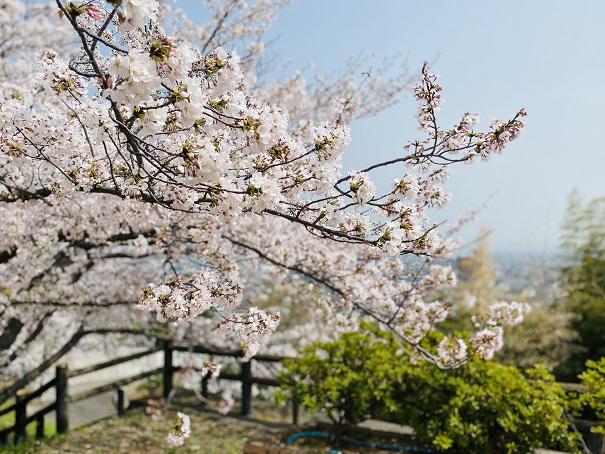 桃陵公園 ふれあい広場桜2