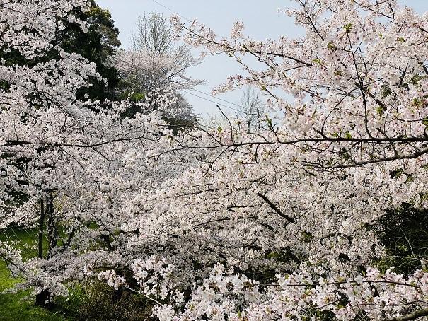 桃陵公園 出合いの広場桜