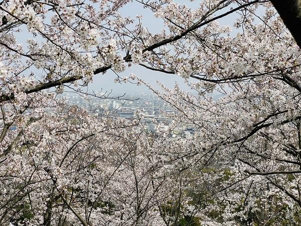 桃陵公園 出合いの広場桜2