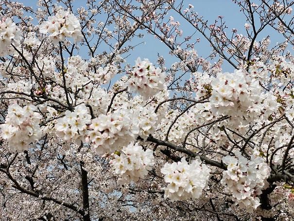 桃陵公園 出合いの広場桜4
