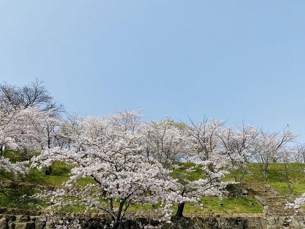 桃陵公園 コンコース広場桜2