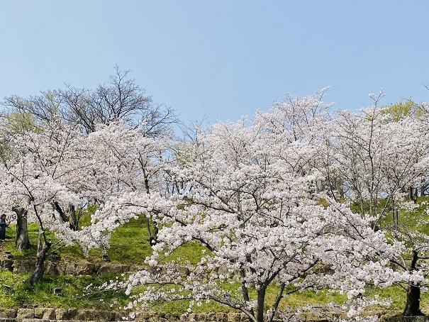 桃陵公園 コンコース広場桜3