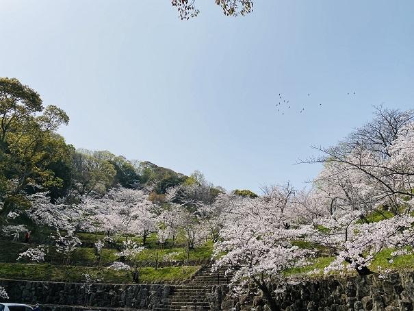 桃陵公園 コンコース広場桜1