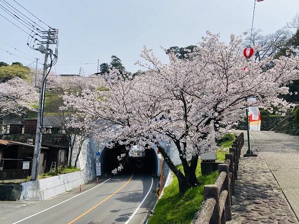 桃陵トンネル桜1