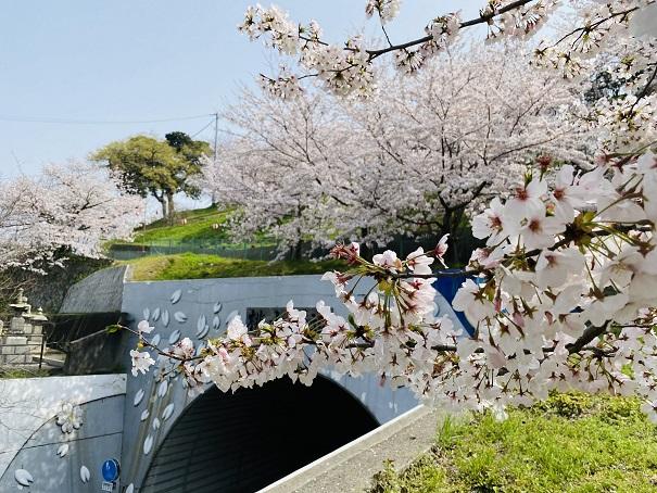 桃陵トンネル桜2