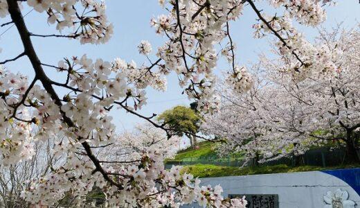 県立桃陵公園と2500本の桜 ソメイヨシノの花見 多度津町