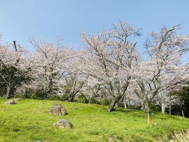 紫雲出山 アジサイロードあたりの桜