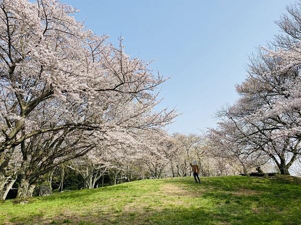 紫雲出山 芝生広場の桜