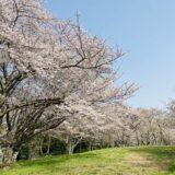 紫雲出山の桜
