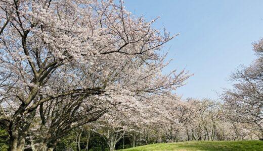 紫雲出山 世界に誇る日本の桜 花見 絶景 名所 香川県三豊市