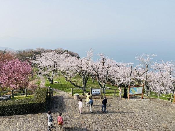 紫雲出山 山頂展望台からの桜2