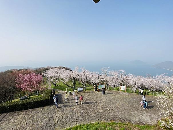 紫雲出山 山頂展望台から桜1