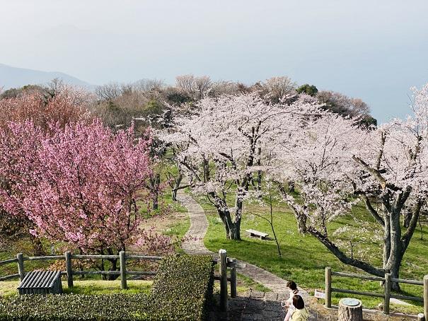紫雲出山 山頂展望台からの桜3