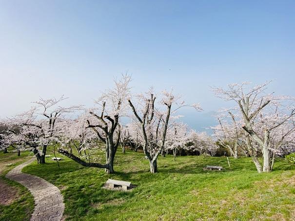 紫雲出山山頂 剪定された桜