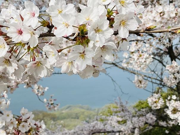 紫雲出山 山頂桜アップ