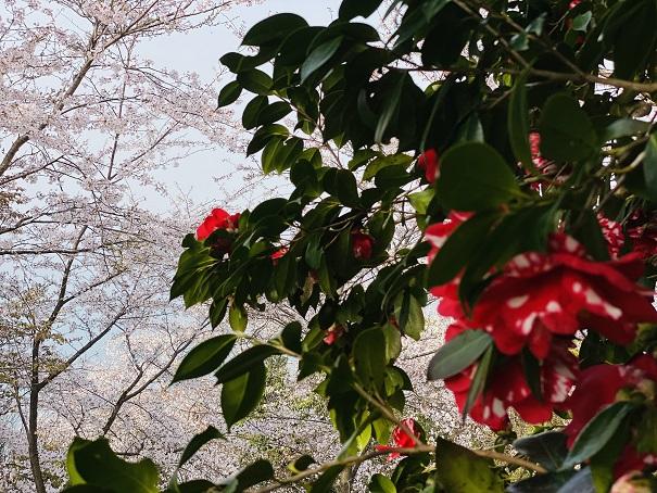 紫雲出山山頂 椿と桜