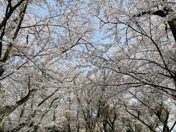 紫雲出山 絶景カフェ前上の桜