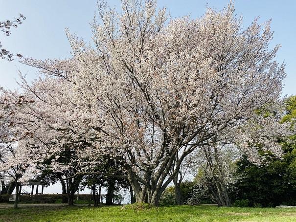 紫雲出山 芝生広場の大きな桜