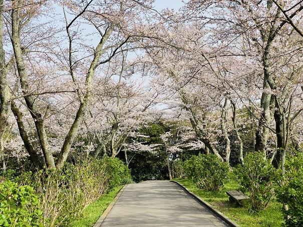 紫雲出山 アジサイロードの桜3