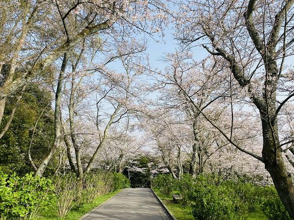 紫雲出山 アジサイロードの桜
