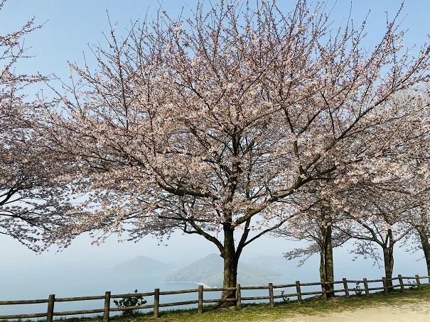 紫雲出山 第3展望台桜