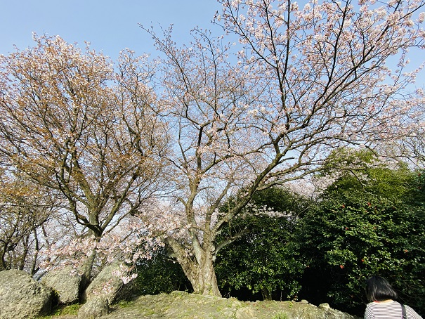 紫雲出山 第2展望台 岩の上の桜
