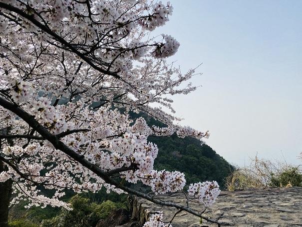紫雲出山 第2展望台の桜