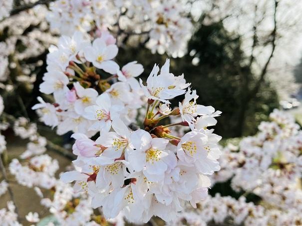 紫雲出山 第2展望台の桜アップ