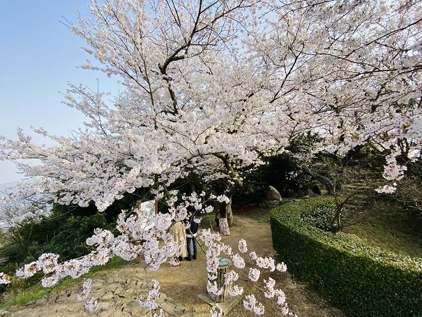 紫雲出山 第2展望台桜