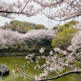 丸亀市飯山総合運動公園 桜