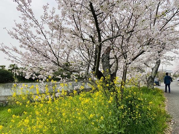 竜桜公園 菜の花と桜