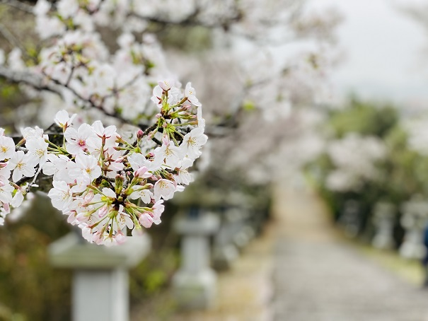 竜桜公園 桜