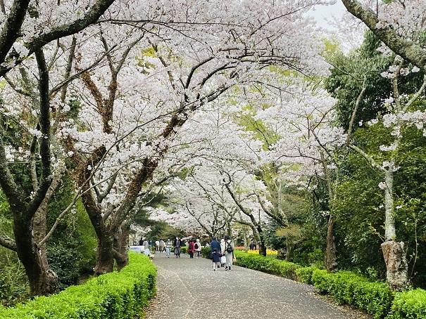 公渕森林公園 桜のトンネル