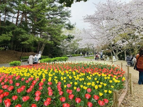 公渕森林公園 チューリップ花壇と桜