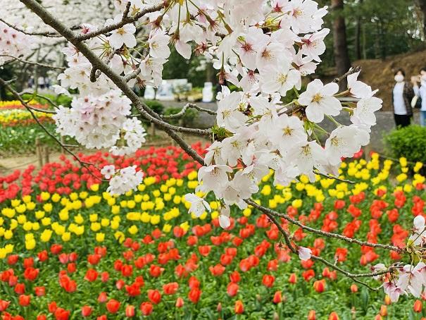 チューリップと桜のコラボ写真