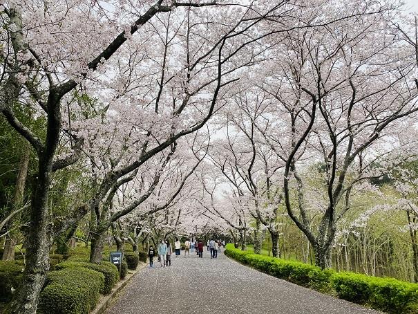 公渕公園  桜のトンネル3