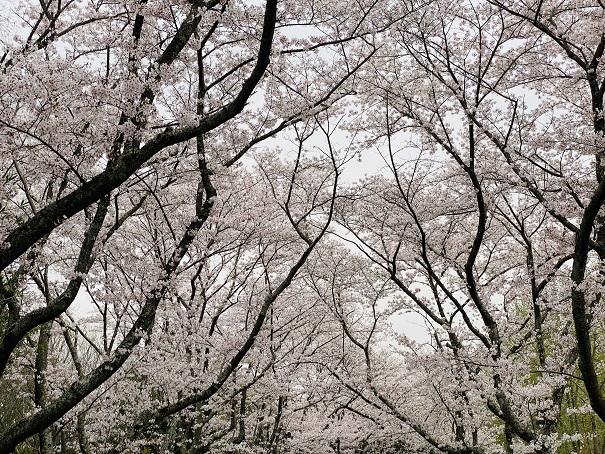 公渕森林公園 桜の天井