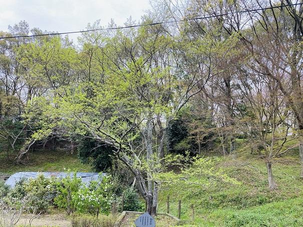 公渕森林公園 淡墨桜