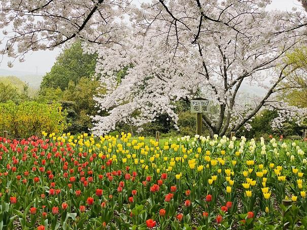 公渕森林公園桜チューリップ